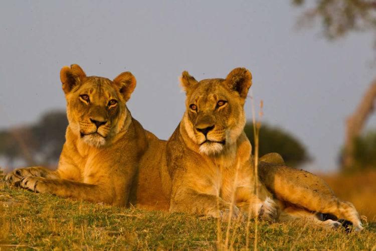 Manyara Lions