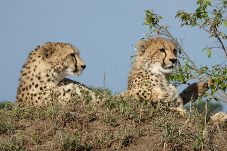 Cheetah#