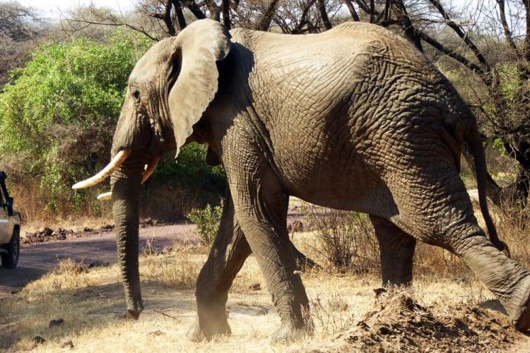 Elephants in Selous-Daigle Tours
