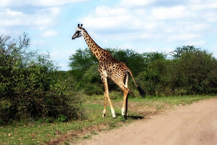 Giraffe-Daigle Tours