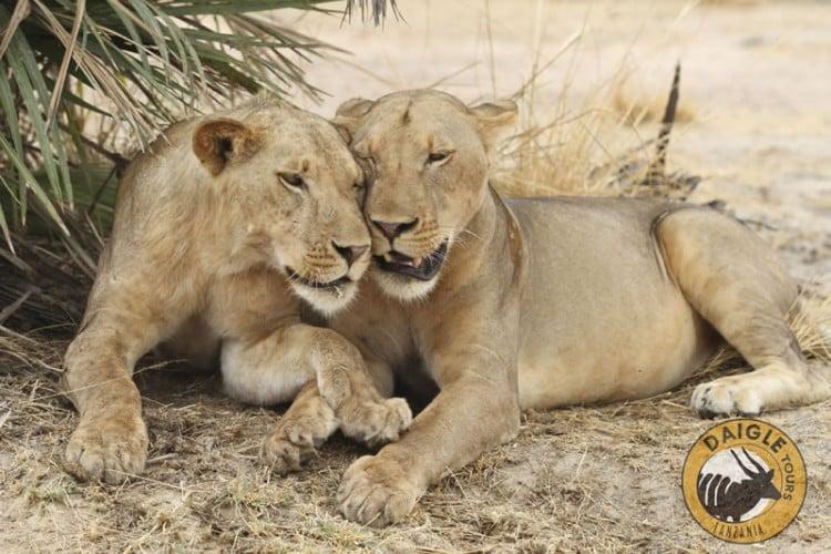 Lioness Serenegeti