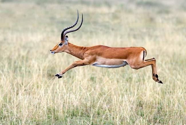 impala_jumping